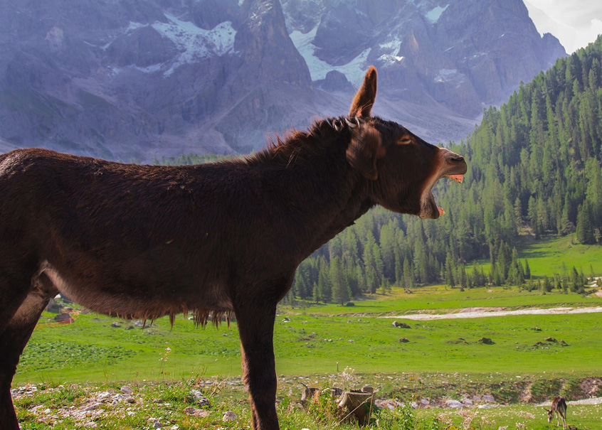Auf einer schönen, grünen Wiese zwischen hohen Bergen steht ein Esel mit weit aufgerissenem Maul. Es wirkt, als würde er lauthals lachen.
